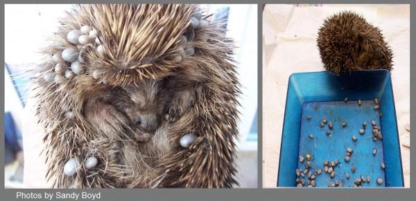 Hedgehog-and-ticks-600x291