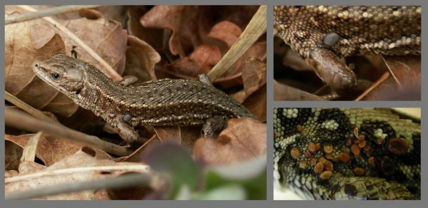 Reptiles-with-ticks-600x292