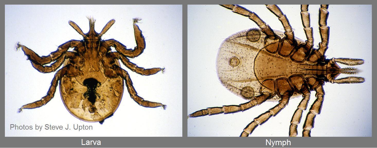 Larva-and-nymph