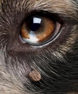 Tick-on-dog-eye-249x300